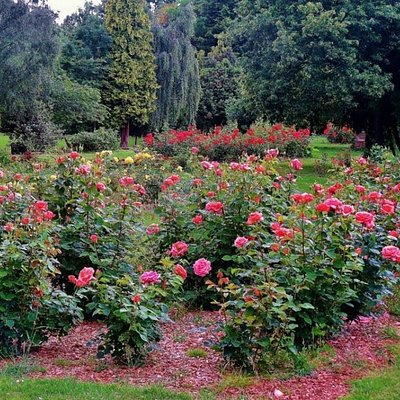 One of the 33 rosebeds with over 2000 roses