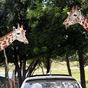 If you've never hand fed a giraffe, you haven't exactly lived life yet.  Stop by Fossil Rim Wildlife Center when you Explore Glen Rose.