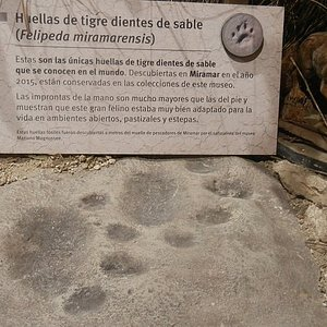felipeda miramarensis, huellas del dientes de sable hallado en miramar, museo de ciencias naturales de miramar