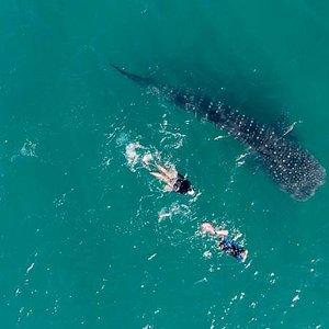 Whale shark snorkeling in Season