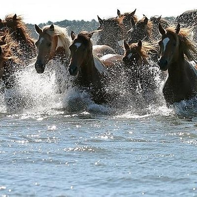 Come see the wild Chincoteague Ponies roam in their natural habitat or during their annual swim to Chincoteague Island on the last Wednesday before the last Thursday in July.