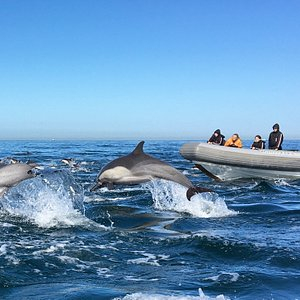 Long Beak common dolphin playing with the Rigid Inflatable Boat on Adventure RIB Rides Tour!