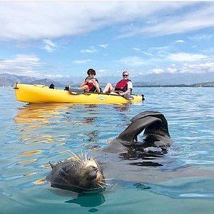 A Friendly Local :) Seal Kayaking Kaikoura.
