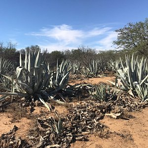 Agave Spirit from the Farm