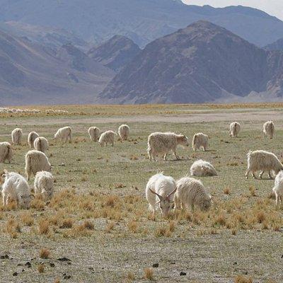 Farmland where Patasi Cashmere goats are raised.