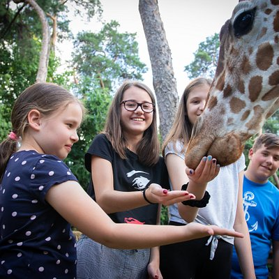 Zsiráfetetés a 2019 nyarán immár 32. alkalommal megrendezett Zootáborban  Giraffe feed during a Zoo Camp in summer 2019