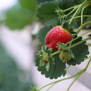 Your trip will not be completed without experiencing picking your fresh strawberry