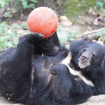 You can also help create enrichment for our rescued bears. This helps to stimulate then mentally and physically.