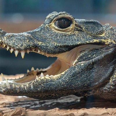 Krokodyl Krotkopyski- Wojtuś!