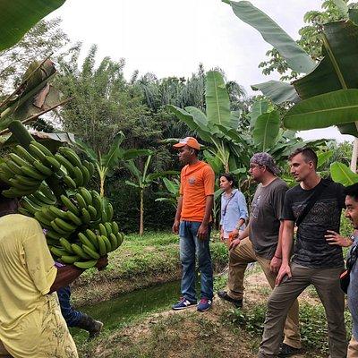 A local banana farm