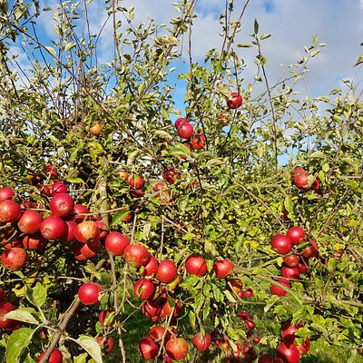 Home cottage farm apple picking