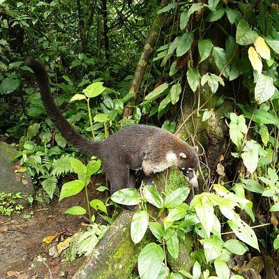 Coati se promenant à son aise près des baigneurs ou de leurs affaires sur les berges de la rivière chaude