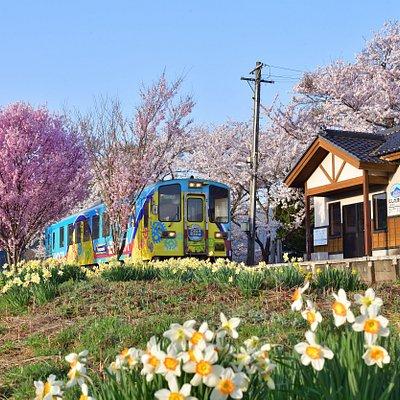 春の西滝沢駅は、桜とスイセンがキレイです。  The Nishi Takisawa Station in spring has beautiful daffodils and cherry blossoms.