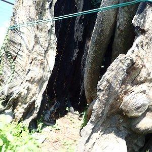推定樹齢1000年。さすがにあちこち痛々しいですね。