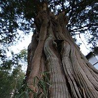 光秀寺:カヤの巨木