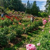 Ce jardin (gratuit!!) permet d'admirer plus de  7000 rosiers, de plus de 550 espèces.