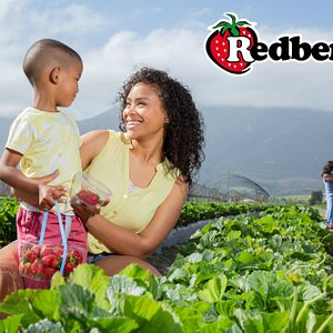 Pick your own strawberries at Redberry Farm