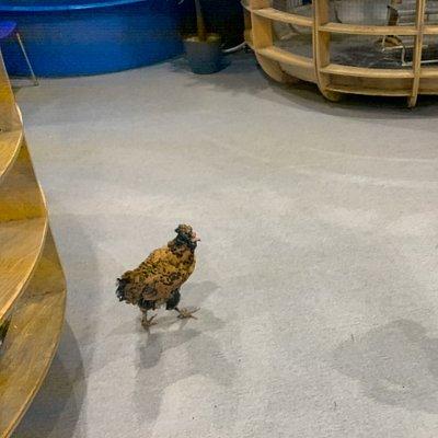 Курица на прогулке по зоо