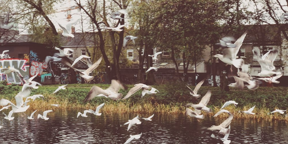Gabbiani in volo presso il Royal Canal - Drumcondra, Dublino, Novembre 2019