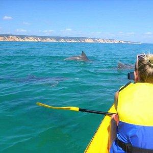 Wild bottlenose dolphins feeding in the Marine Park