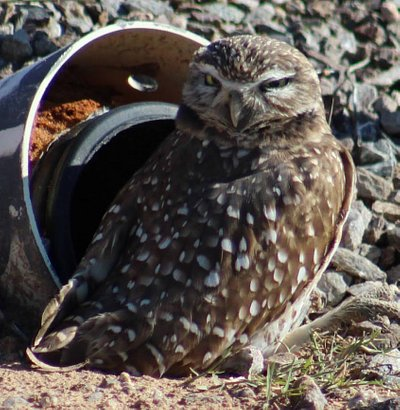 Burrowing owl photo taken with zoom lens