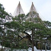 松の雪吊りも見られました。