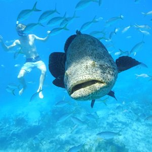 Goliath grouper under our boat