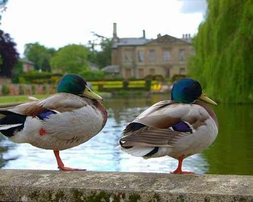 Ducks on Balastrade at Coombe Abbey Park