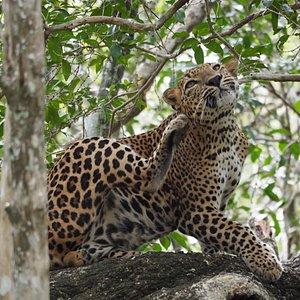 Leopard in Yala .