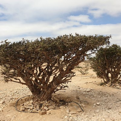 frankincense trees