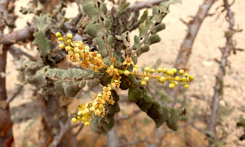 flowers of frankincense trees