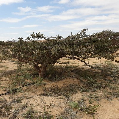 an old frankincense tree