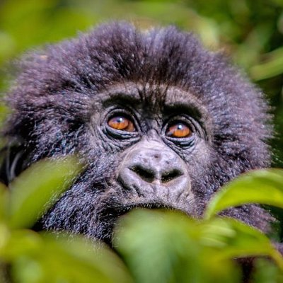 Trek to meet baby gorillas in the jungle forests of Bwindi, Mgahinag, Volcanoes and Virunga National parks with Magical Africa Safaris@gorillasafarisinafrica.com