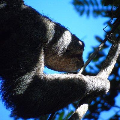 Oso Perezoso de 3 dedos en Costa Rica