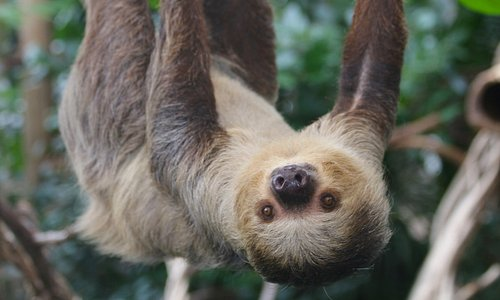 Free-roaming sloths explore inside the Faces of the Rainforest exhibit.