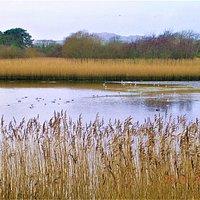 Reed Beds @ Lon Cob Bach Nature Reserve (Pwllheli)