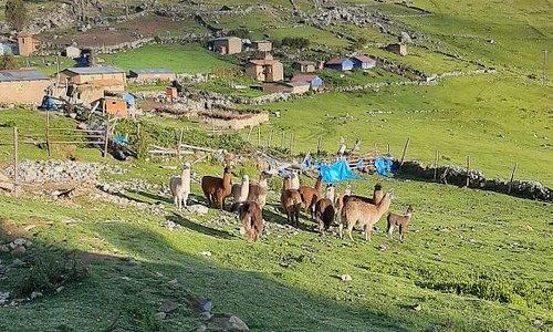 Lamas in Colca Apurimac Peru.