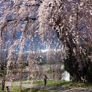 吉瀬の枝垂れ桜:枝垂れ越しの雪山