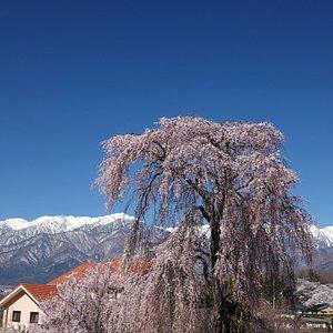城の腰のしだれ桜:高台からの撮影