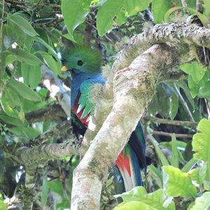 Resplendent Quetzal  #Mirador Rey Tepepul #Santiago Atitlan  #Guatemala