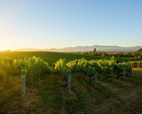 Summer sunlight over the Pinot Noir