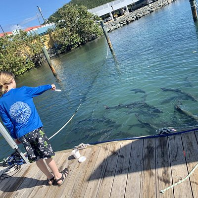 Exciting time feeding Monster Tarpon!