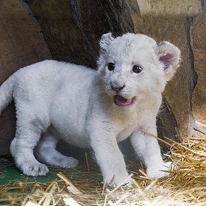 Yavru Beyaz Aslan