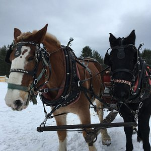 These are the horses that pulled the sleigh.