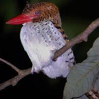 sleeping bird, spotted during night walk
