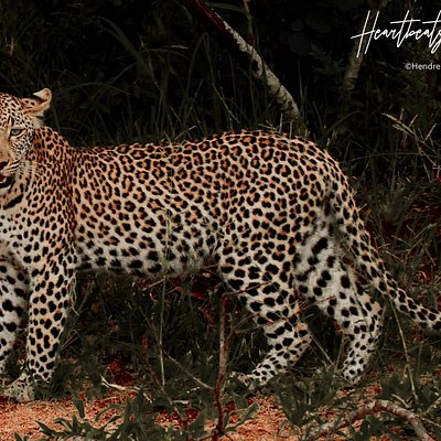 Another great big cat sighting in Kruger National Park. We love to share these sightings with our guests.