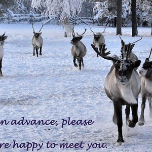 Our reindeer are happy to meet you, but it is important to contact me beforehand. We are not at home all the time and the reindeer may be too far in the forest.