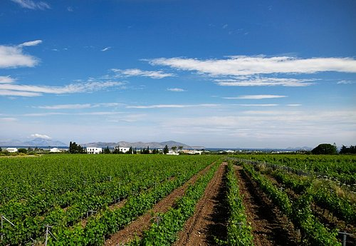 Vineyards in Miniera