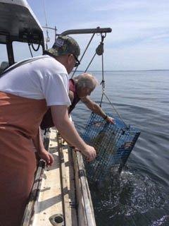 hauling in lobsters