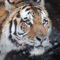 Nikolai the tiger